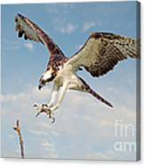 Osprey With Talons Extended Canvas Print