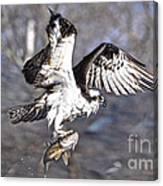 Osprey With Walleye Fish Canvas Print