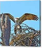 Ospreys Copulating In New Nest2 Canvas Print