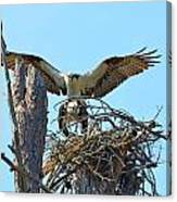Ospreys Copulating In New Nest3 Canvas Print