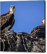 Ospreys In The Nest Canvas Print