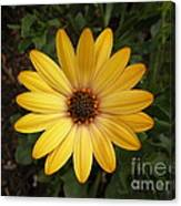 Osteospermum Orange Daisy Canvas Print