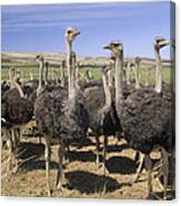 Ostrich Females South Africa Canvas Print