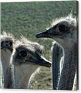Ostrich Round-up Canvas Print