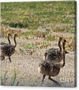 Ostrich Young Canvas Print