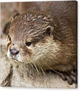 Otter Closeup Canvas Print