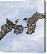 Young Peregrine Falcon And Ma Share In The Air Canvas Print