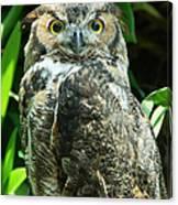 Owl Portrait Canvas Print