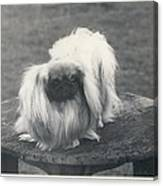 Owner- Refuses £10,500 Offer For Pekinese Canvas Print