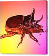Ox Beetle In Color Canvas Print