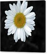 Oxeyed Daisy Canvas Print