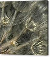 Oyster Flower Seed Head Canvas Print