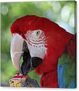 P Is For Parrot Canvas Print