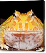 Pac Man Frog Ceratophrys On A Rock Canvas Print