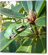 Pacific Chorus Frog On A Rhodo  Canvas Print