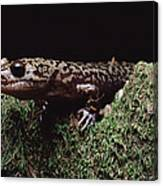 Pacific Giant Salamander On Mossy Rock Canvas Print