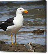 Pacific Gull Canvas Print