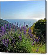 Pacific Lupines Canvas Print