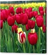 Pacific Northwest Tulips 2 Canvas Print