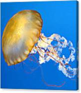 Pacific Sea Nettle Canvas Print