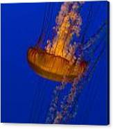 Pacific Sea Nettles In A Row Canvas Print