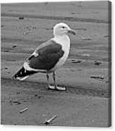 Pacific Seagull In Black And White Canvas Print