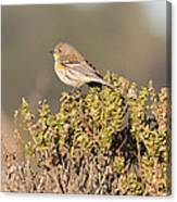 Pacific Sloped Flycatcher Canvas Print