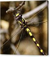 Pacific Spiketail Dragonfly On Mt Tamalpais 2 Canvas Print