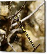 Pacific Spiketail Dragonfly On Mt Tamalpais Canvas Print