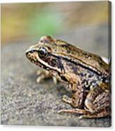 Pacific Tree Frog On A Rock Canvas Print