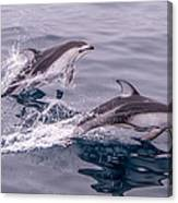 Pacific White Sided Dolphins Canvas Print
