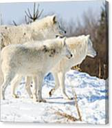 Pack Of Arctic Wolves Canvas Print