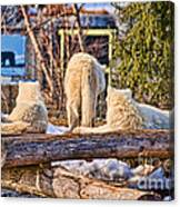 Pack Of Arctic Wolves Watching A Polar Bear Movie Canvas Print