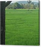 Paddy Fields 3 Canvas Print