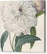 Paeonia Flagrans Peony Canvas Print