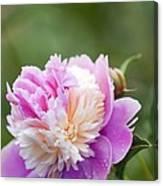 Paeonia Lactiflora 'raspberry Sundae' Canvas Print