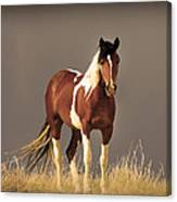 Paint Filly Wild Mustang Sepia Sky Canvas Print