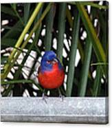 Painted Bunting Bird Canvas Print