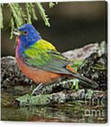 Painted Bunting Drinking Canvas Print