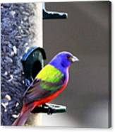 Painted Bunting - Img 9757-002 Canvas Print