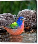 Painted Bunting Passerina Ciris In Water Canvas Print