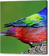 Painted Bunting Passerina Ciris Canvas Print