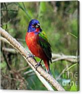 Painted Bunting Photo Canvas Print