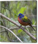 Painted Bunting Canvas Print