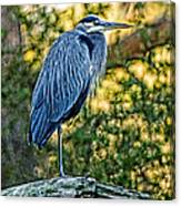 Painted Great Blue Heron Canvas Print