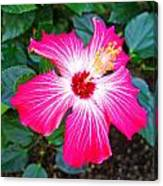'painted Lady' Hibiscus Canvas Print