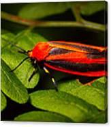 Painted Lichen Moth Canvas Print