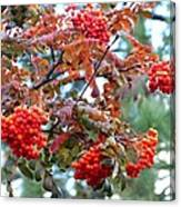 Painted Mountain Ash Berries Canvas Print