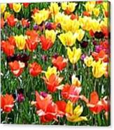 Painted Sunlit Tulips Canvas Print