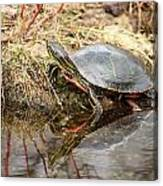 Painted Turtle Climbing Onto Shore Canvas Print